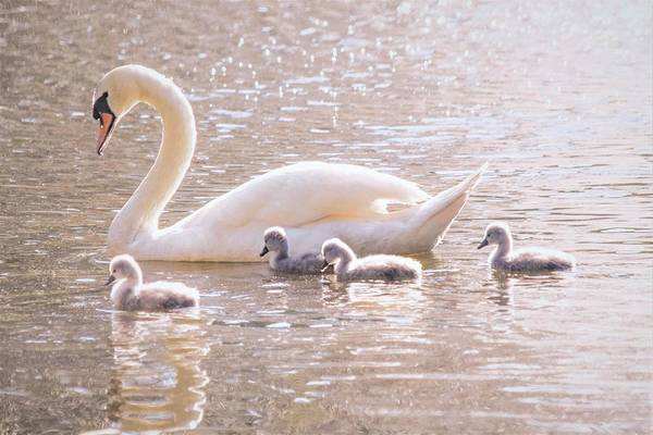Wall Art - Photograph - Mama Swan And Her Babies - Mute Swan by Mary Ann Artz