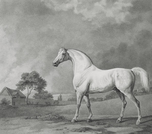 Equestrian Drawing - Mambrino by George Stubbs