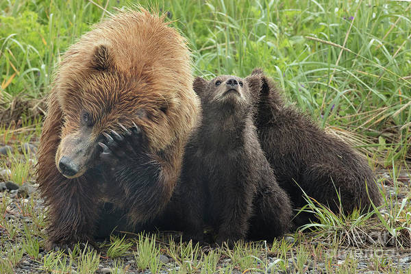 Dancing Bears Photograph - Mamma Bear And Cubs Trying To Nap by Linda D Lester