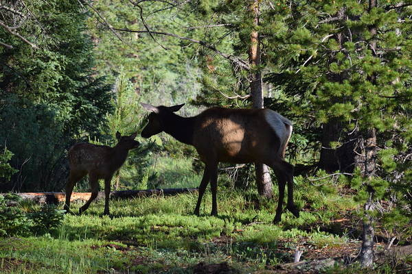 Photograph - Elk Calf - Mother Rmnp Co by Margarethe Binkley