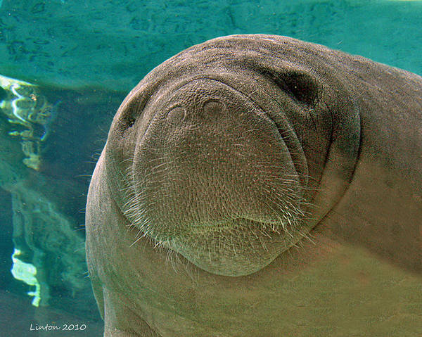 Photograph - Manatee by Larry Linton