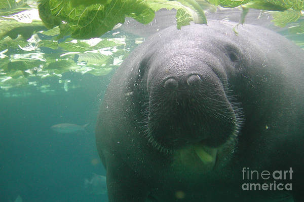 Photograph - Manatee Raspberry by Kathi Shotwell