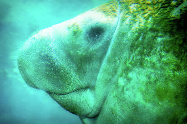 West Indian Manatee Photograph - Manatee by Rich Leighton