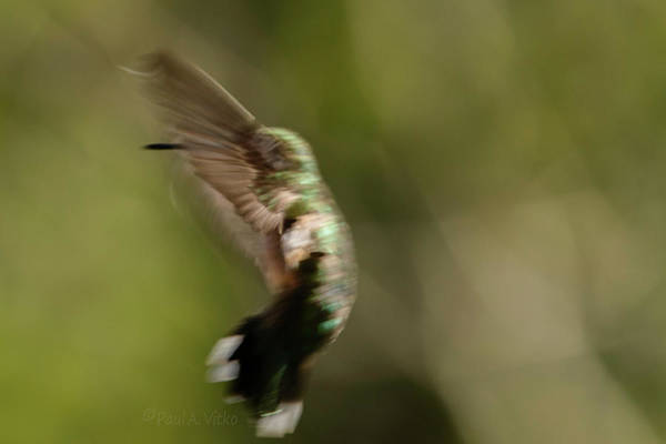 Photograph - Manbird Hummdancing.... by Paul Vitko