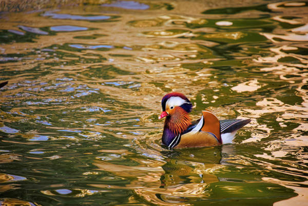 Photograph - Mandarin Duck On Water by Lucinda Walter