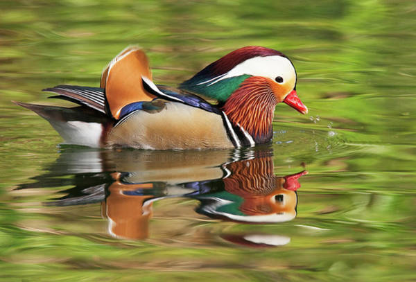 Wildbird Photograph - Mandarin Duck by Ram Vasudev