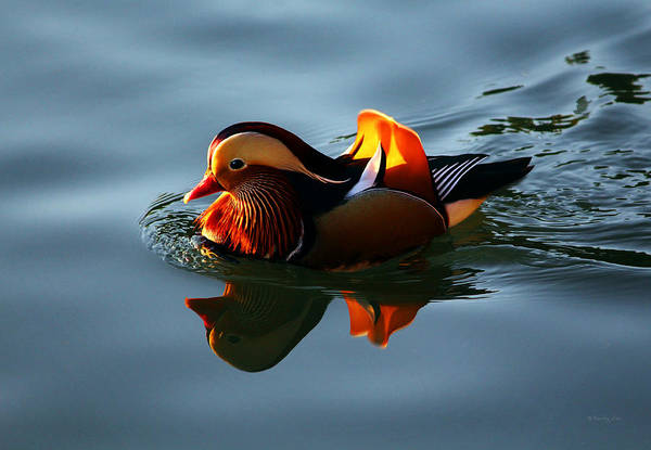 Photograph - Mandarin Duck by Xueling Zou