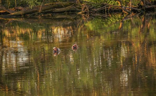 Photograph - Mandarin Ducks #g3 by Leif Sohlman