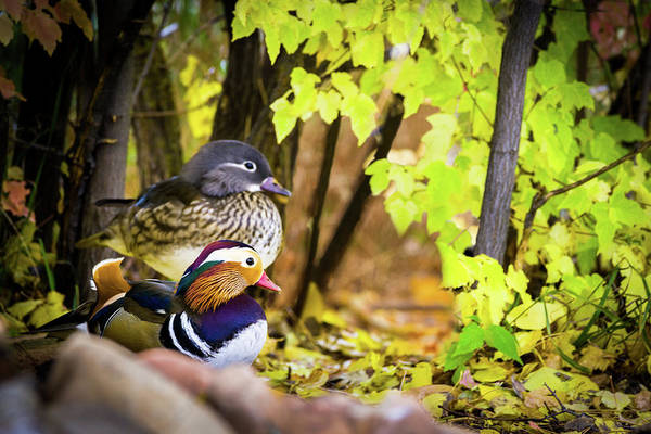 Photograph - Mandarin Ducks In Autumn by TL Mair