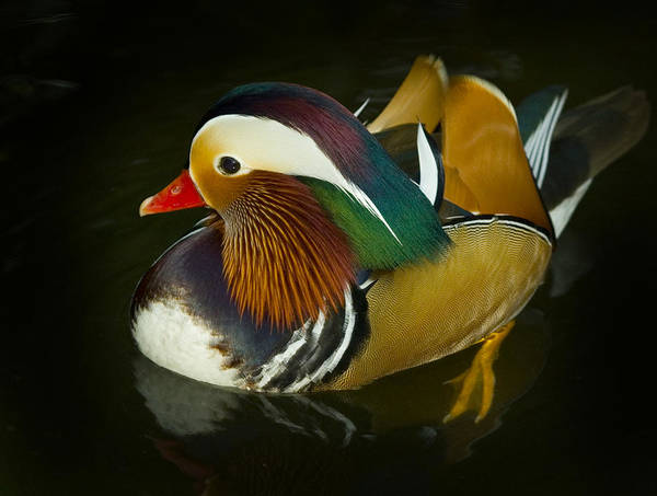 Mandarin Duck Photograph - Mandarin  by Joseph G Holland