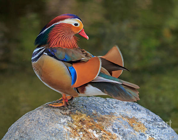 Mandarin Duck Photograph - Mandarin by Robert Pilkington