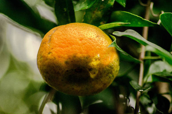 Gota Photograph - Mandarina  by Totto Ponce