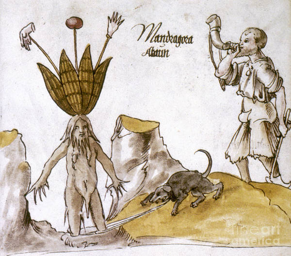 Photograph - Mandrake And Herbalist by Granger