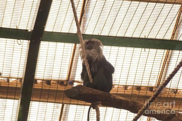 Photograph - Maned Monkey - Looking Like Tarzan by Doc Braham