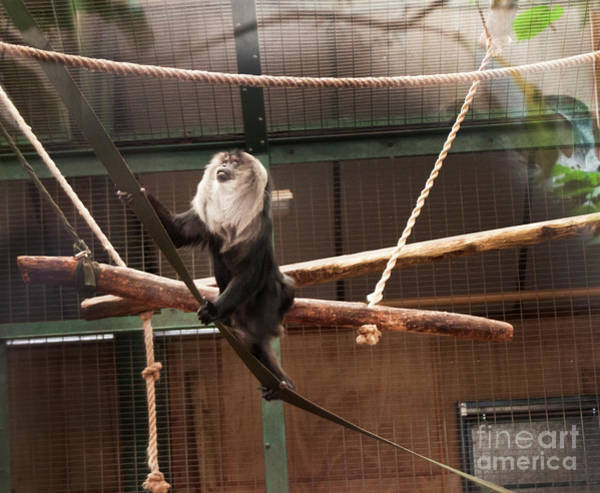 Photograph - Maned Monkey Showing Off by Doc Braham
