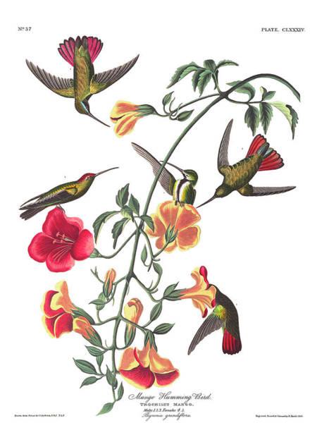 Mango Hummingbird Bird Art Print
