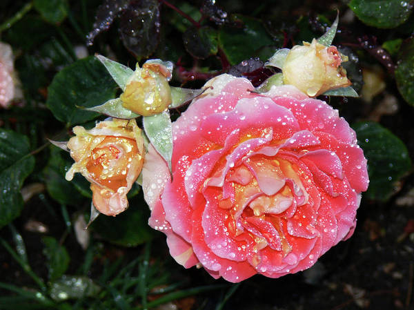 Photograph - Mango Rose by Kim Hawkins Eastern Sierra Gallery