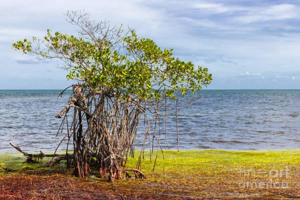 Photograph - Mangrove At Florida Keys by Elena Elisseeva