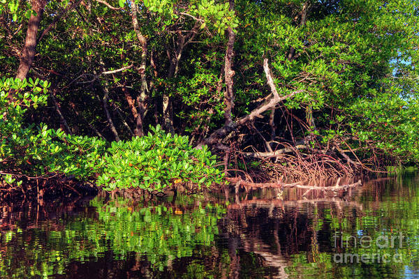 Wall Art - Photograph - Mangrove  by Rick Mann