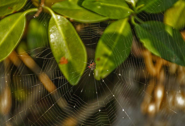 Photograph - Mangrove Spider Web by Bob Slitzan