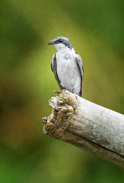 Photograph - Mangrove Swallow Costa Rica by Joan Carroll
