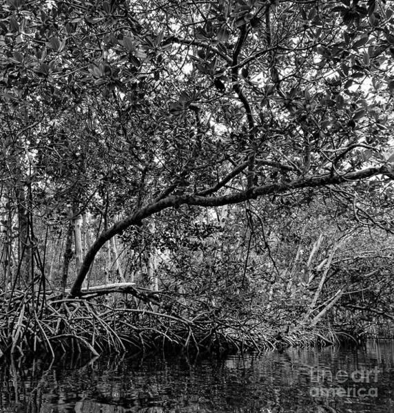 Photograph - Mangrove Trees, Commodore Creek, Sanibel Island, Fl  50464-bw by John Bald