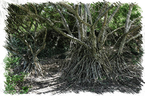 Photograph - Mangrove Trees by Jim Thompson