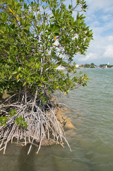 Mangroves Digital Art - Mangroves In Chetumal by Carol Ailles