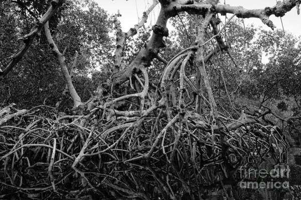 Photograph - Mangroves, Sanibel Island, Florida  -50468 by John Bald