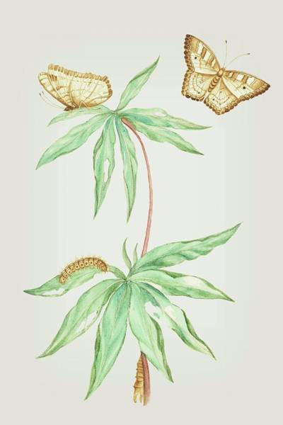 Mixed Media - Manihot Plant For Cassava Bread With Caterpillar And Butterfly By Cornelis Markee 1763 by Cornelis Markee