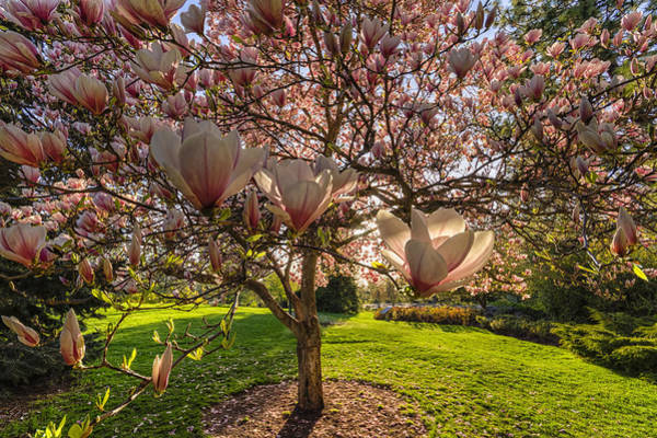 Photograph - Manito Magnolia In Bloom by Mark Kiver