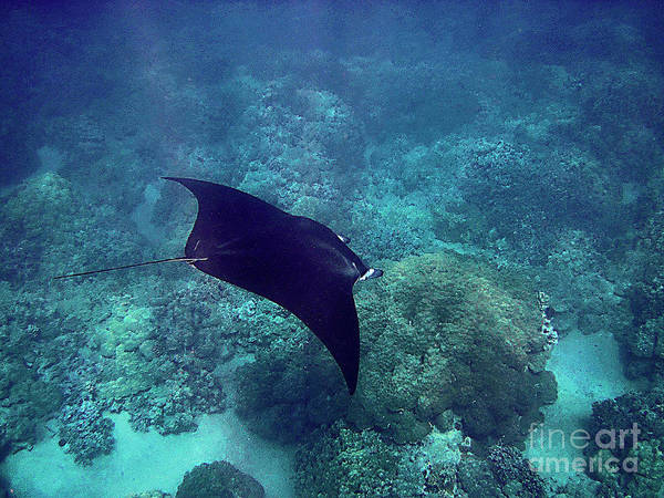 Photograph - Manta Ray Gliding Over Reef by Bette Phelan