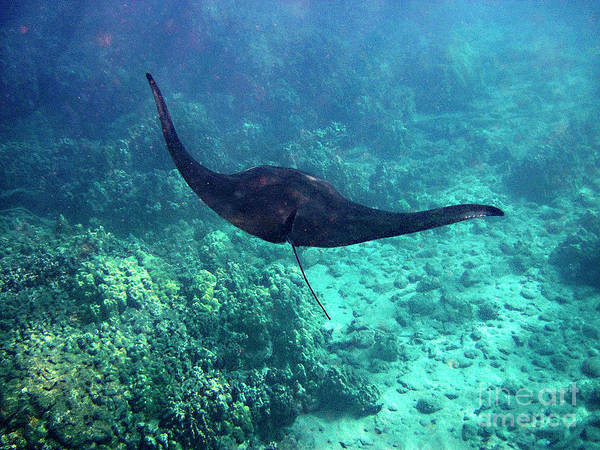 Photograph - Manta Ray In Flight by Bette Phelan