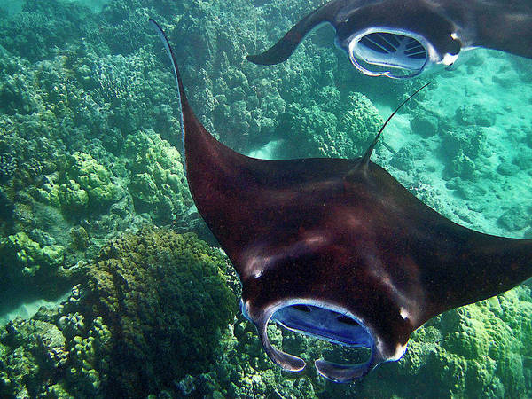 Photograph - Mantas In Flight by Bette Phelan