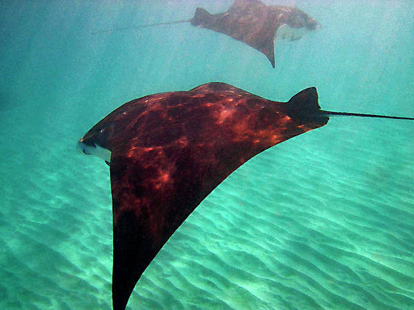 Photograph - Mantas In The Bay by Bette Phelan