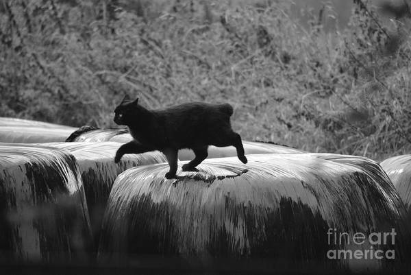 Manx Cat Wall Art - Photograph - Manx Cat by Kimberly McDonell