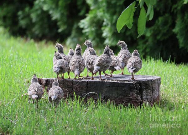 Photograph - Many Baby Quail On Stump by Carol Groenen