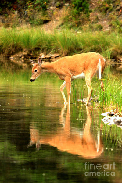 Photograph - Deer Reflections In Fishercap by Adam Jewell