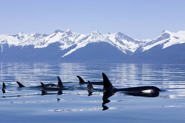 Sealife Wall Art - Photograph - Many Orca Whales by John Hyde - Printscapes