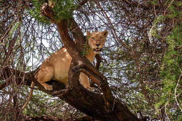 Photograph - Manyara Tree Climbing Lion by Mary Lee Dereske