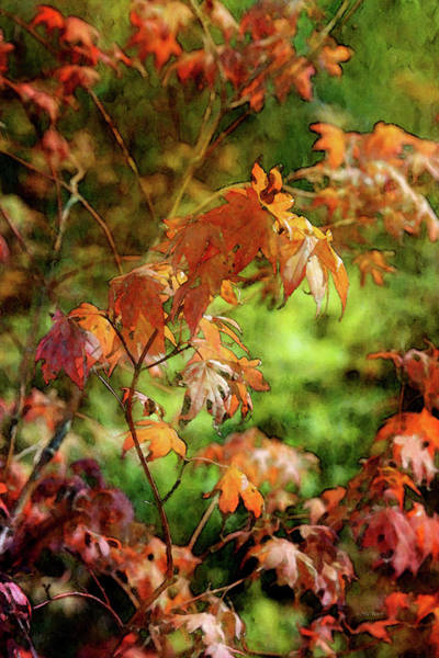 Photograph - Maple 4448 Idp_2 by Steven Ward