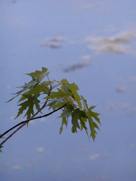 Maple Against Reflected Sky Art Print by Randy Muir