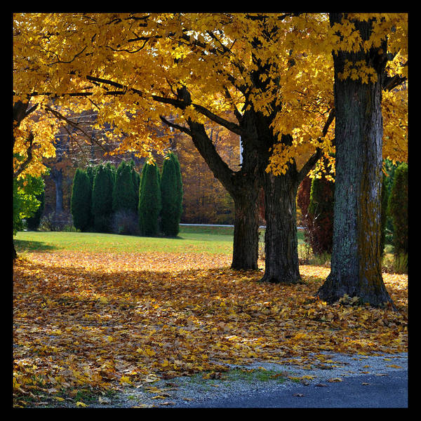 Photograph - Maple And Arborvitae by Tim Nyberg