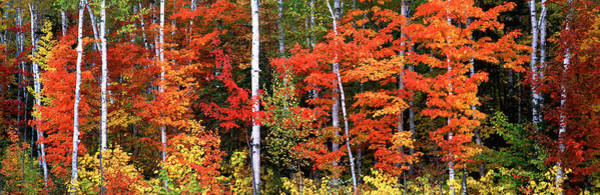 Wall Art - Photograph - Maple And Birch Trees In A Forest by Panoramic Images