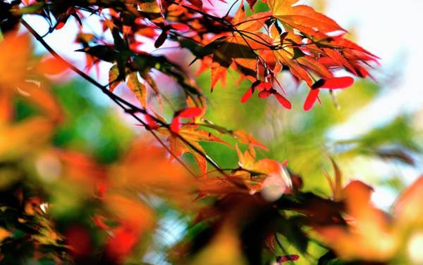 Photograph - Maple Details by Jerry Sodorff