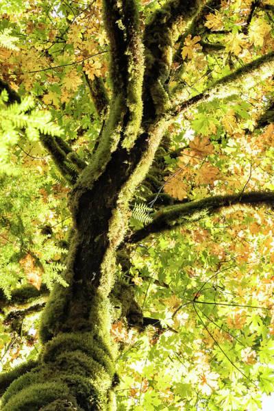 Photograph - Maple Divine by Belinda Greb