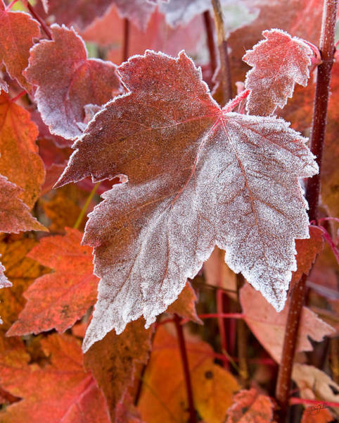 Art Print featuring the photograph Maple Frost  by Doug Gibbons