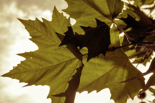 Photograph - Maple Leaf Against Sunlight by Jacek Wojnarowski