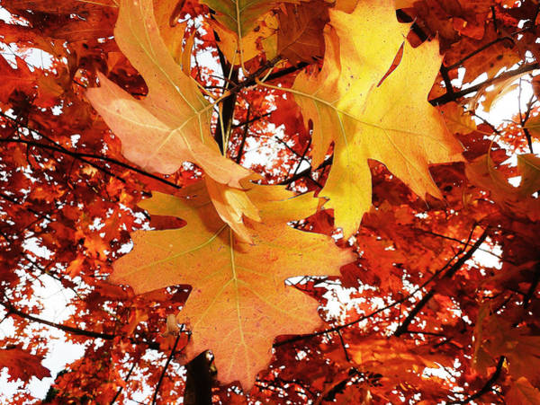 Perky Photograph - Maple Leaf Bower by Connie Handscomb