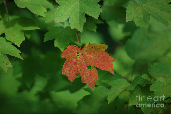 Photograph - Maple Leaf Fall Color In Charleston South Carolina by Dale Powell